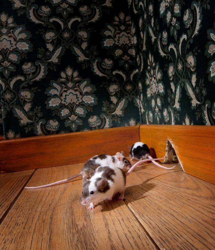 desinfeccion de ratas Almeria