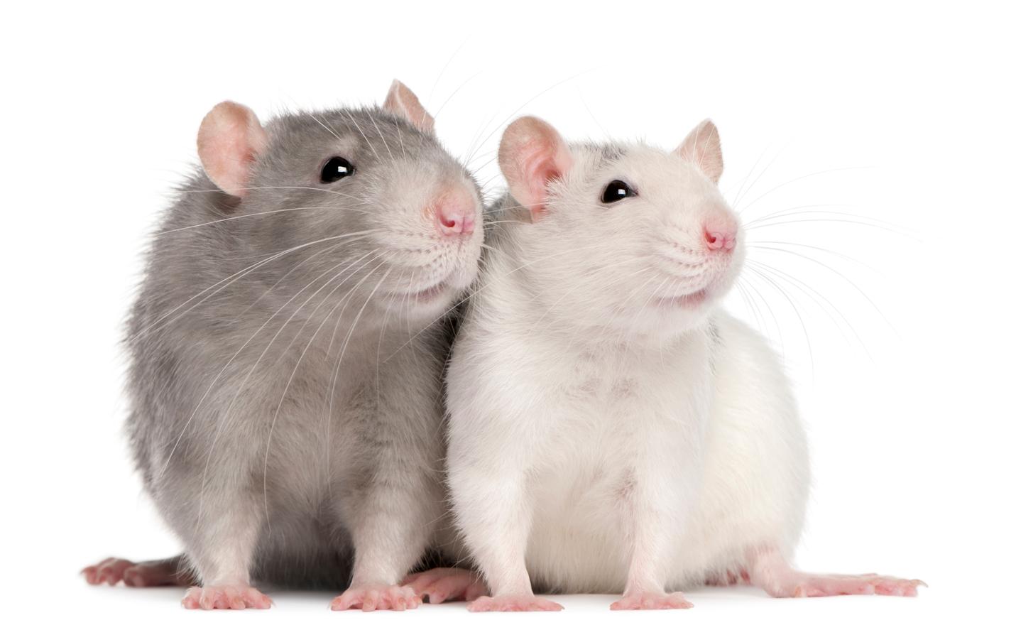 Eliminar plagas de ratas Almeria