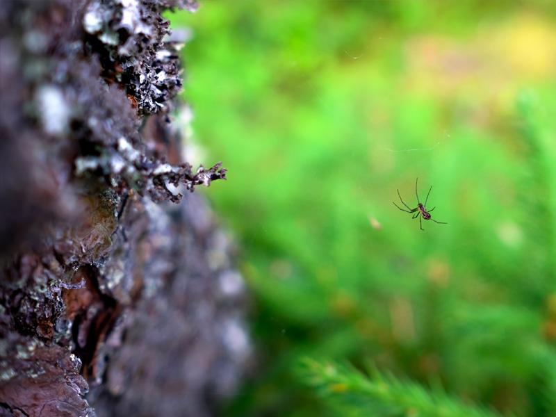 Picaduras de arañas comunes