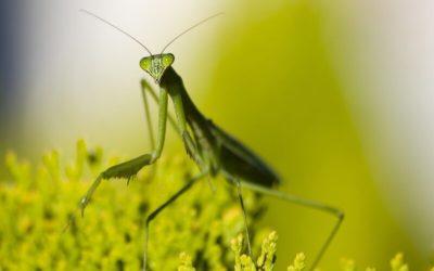 Encontrarse con una mantis religiosa: Curiosidades