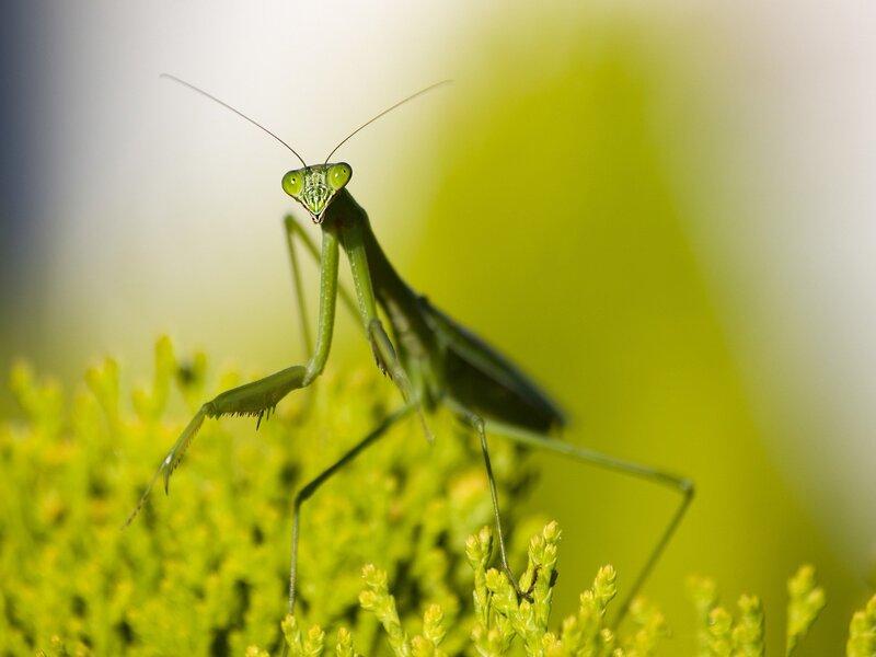 encontrarse una mantis religiosa
